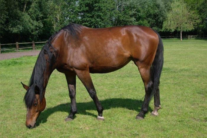 grazend paard